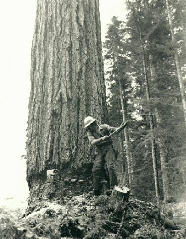 Old Growth Pic